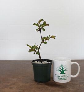 Bonsai Tree, Arapaho Crape Myrtle, Red Flowers, Live Bonsai Tree