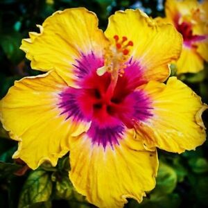 10 rare yellow pink hibiscus seeds garden tropical perennial flower image is loading 10 rare yellow pink hibiscus seeds garden tropical mightylinksfo