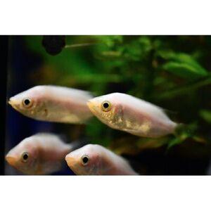 "Pink Kissing Gourami 1.5"" - 2"" Live Tropical Freshwater Aquarium Fish Tank"