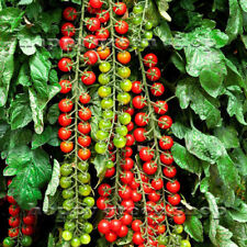 SWEET MILLION F1 - VEGETABLE TOMATO CHERRY - 15 CERTIFIED SEEDS