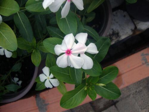 Beautiful Madagascar Periwinkle 20 Seeds Catharanthus roseus