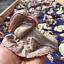 Duck-Flower-Detox-Flor-de-Pato-Palo-Guaco-Dr-Sebi-Approved-Alkaline-Herb thumbnail 1