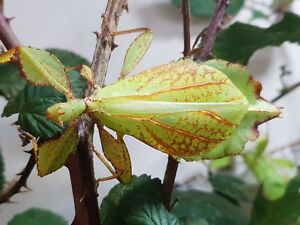 40 œufs De Phyllium Philippinicum Ambulant Feuille Phasmiden Terrarium-afficher Le Titre D'origine Riche En Splendeur PoéTique Et Picturale