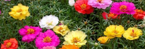 0,25g ~ 2500 Graines Portulaca grandiflora Double flower Mixed Moss Rose  seeds