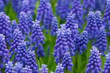 25 GRAPE HYACINTH Muscari Fragrant Blue Purple Ground Cover Flower Seeds *CombSH
