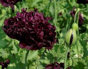 Poppy-Double-Black-500-Seeds-BOGO-50-off-SALE