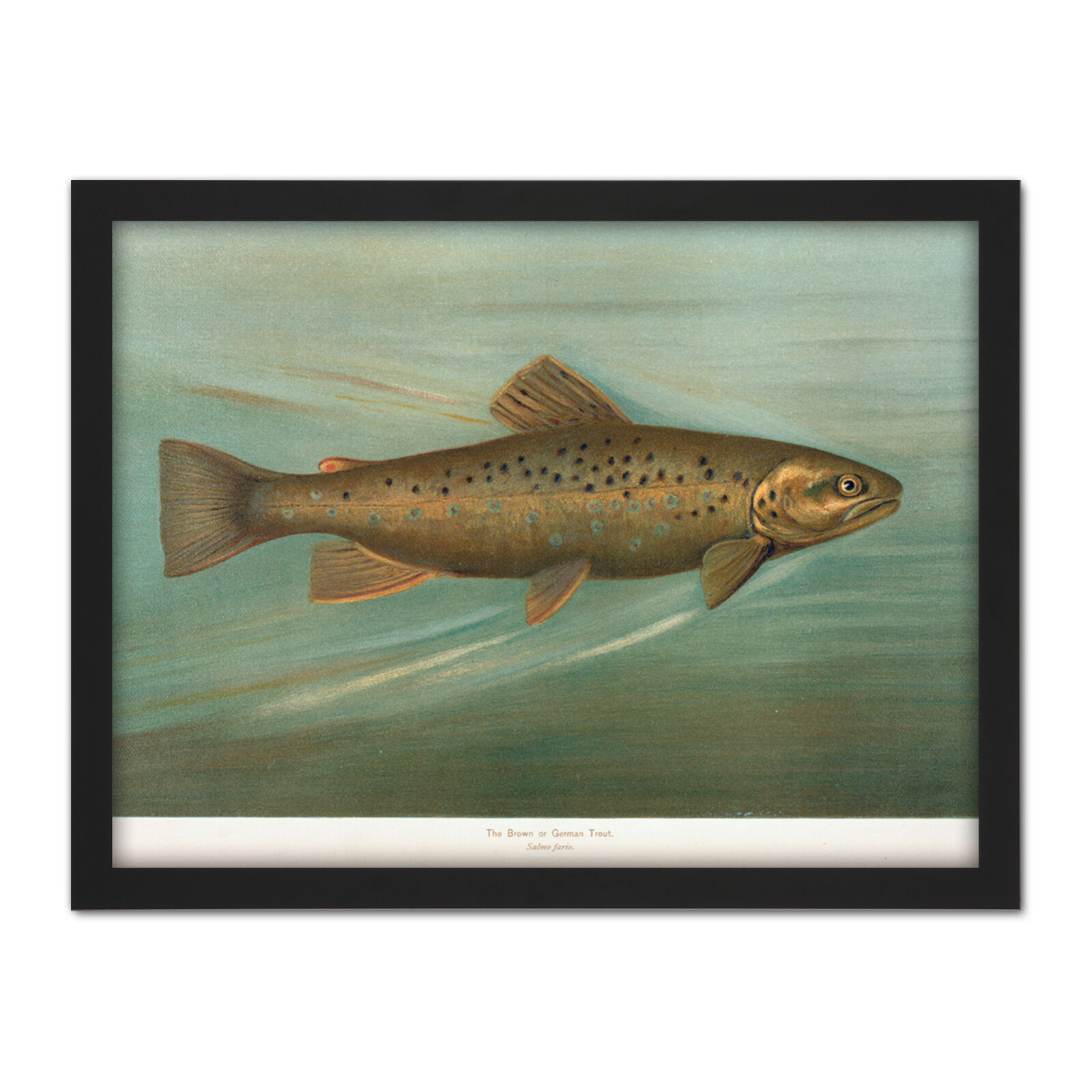 Petrie North American Fishes braun Trout Framed Wall Art Print 18X24