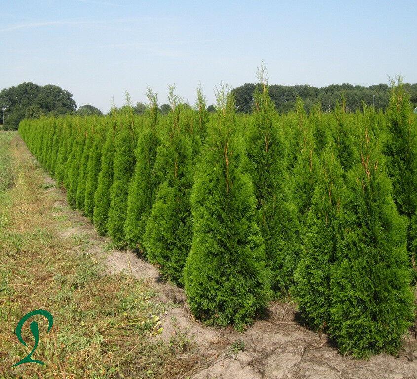 Thuja Smaragd 140 160 cm Höhe. 30 x Heckenpflanzen inkl. Versand 585,-