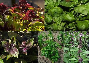 500-Samen-Basilikum-MIX-6-Sorten-Zitronen-Genoveser-Rotes-Thai-Lakritz