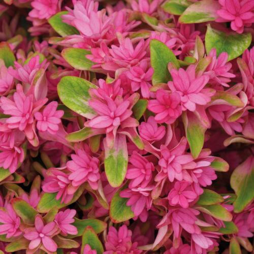 Hydrangea Hardy Shrub Garden Plant /'Princess Diana/' Various Pot Sizes T/&M