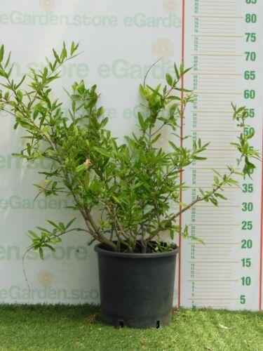 pianta di Melograno melagrana o Punica Granatum varietà nana frutto piccolo