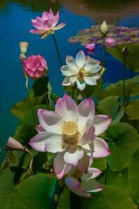Lotus-Pool-by-Chris-Lord-Photo-Art-Print-Mural-inch-Poster-36x54-inch