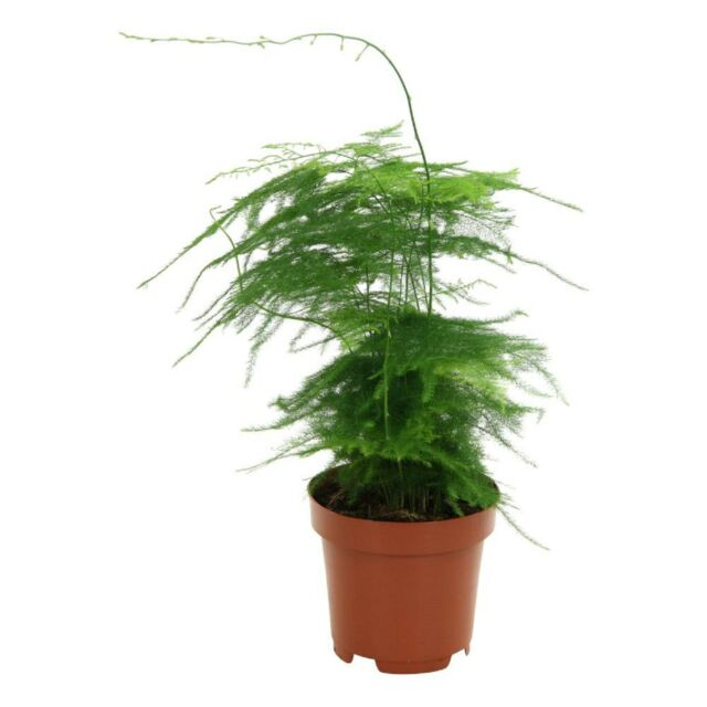 Asparagus densiflorus Myers House Plant in a 14cm Pot Foxtail Fern