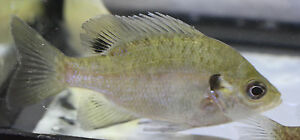 Live bluegill sm for fish tank koi pond or aquarium ebay for Bluegill fish tank