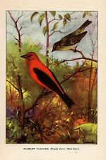 """1926 Vintage TODHUNTER BIRDS """"SCARLET TANAGER"""" STUNNING 90 YEARS OLD Lithograph"""