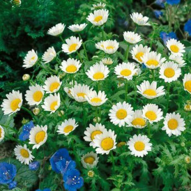 Free Gift 100 DWARF WHITE CREEPING DAISY Flower Seeds