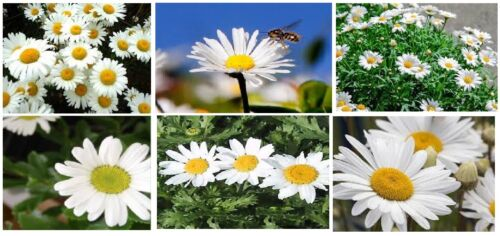 MAMMOUTH OVER 100 Seeds WHITE DAISY FLOWERS