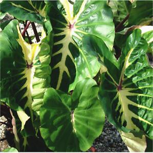 White-Lava-Elephant-Ear-Colocasia-LIVE-TROPICAL-PLANT