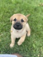 Puppies Kijiji In Sarnia Area Buy Sell Save With Canada S 1 Local Classifieds