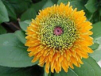 30 + Rudbeckia Maya / Blumensamen