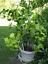 18 pcs Kaffir Lime Tree Seeds Garden Plant Bonsai Seed Potted Plant