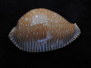 Sea-shell-Cypraea-guttata-surinenses-f-bengalensis-51-4mm-ID-5636