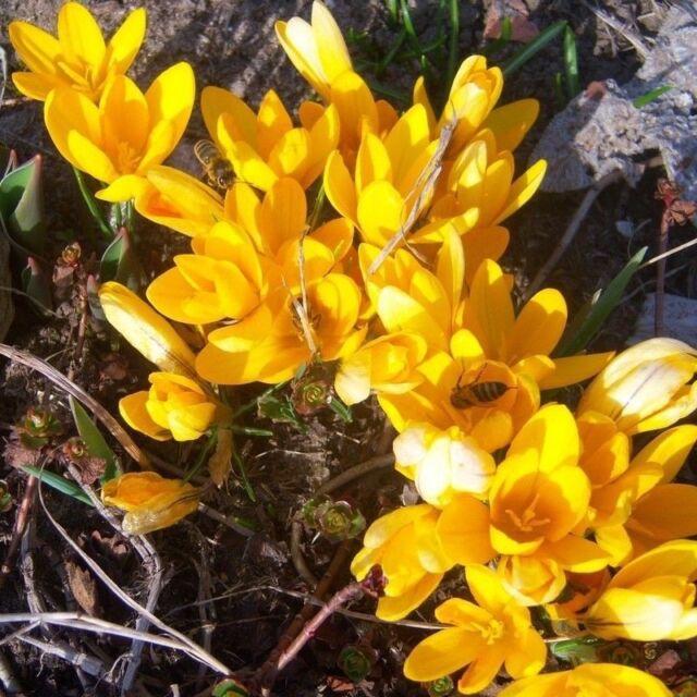 2 Bulbs Yellow Freesia Hybrida Flowers (not seeds) Perennial Flowering Garden