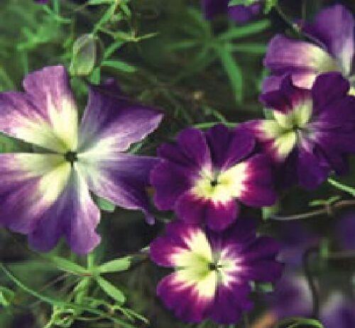 10 graines Unique grimpeur Fleur-Tropaeolum Azureum