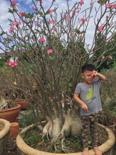 one year bare Rooted plant small size baby Adenium Desert Rose Caudex Bonsai