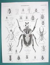 ENTOMOLOGY Beetles Goliath Cetonia etc - 1840 Fine Quality Antique Print