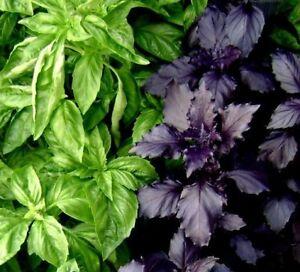 50 Seeds BOGO 50/% off SALE Basil Clove