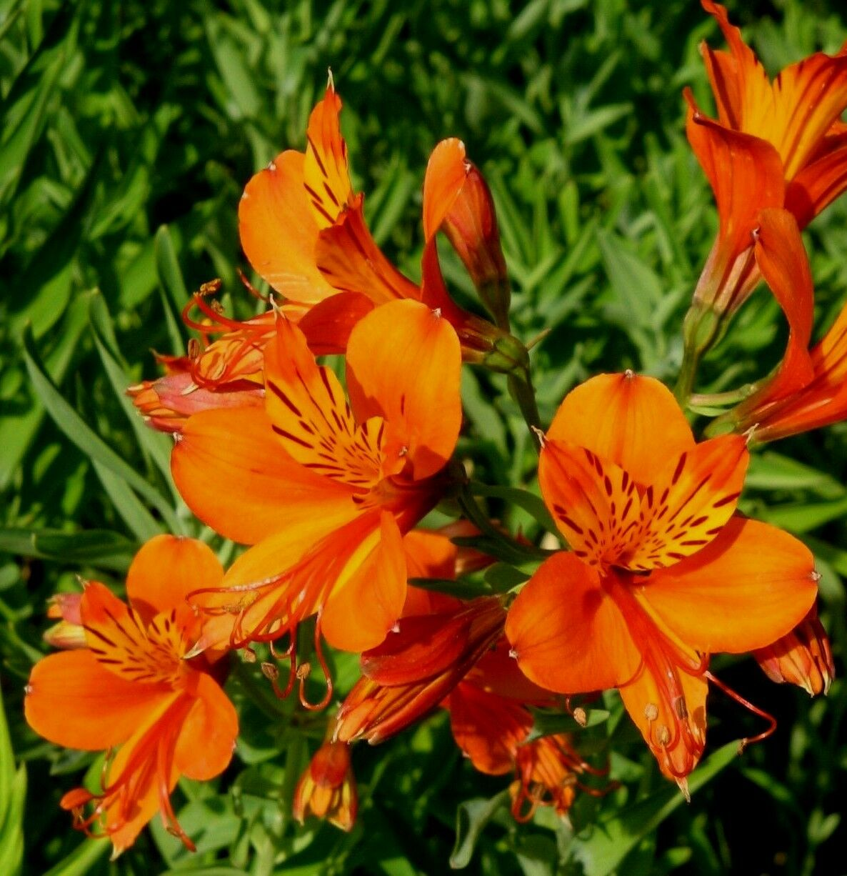 peruvian lily alstroemeria aurantiaca red orange hardy perennial 6 seeds ebay. Black Bedroom Furniture Sets. Home Design Ideas