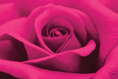 Profundo Fucsia Rosa Rosa Gran Lienzo Arte Pared Imagen A1