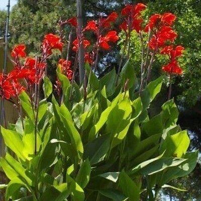 Canna Bulbs Big Red Flower Tropical  Plants 6/'-8/'  Organic Plants Lot Of 3