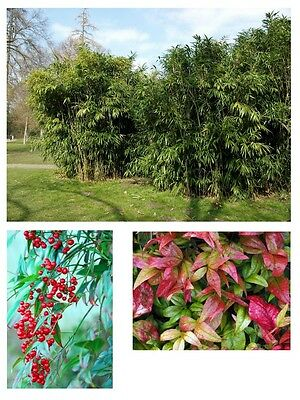 immergrün winterhart Samen exotisch ganzjährig Zierpflanze BERBERITZE