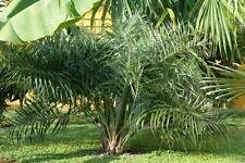 "1 Seedling Live Allogoptera arenaria ""Seashore Palm"" Tree Seedling: Cold Hardy"