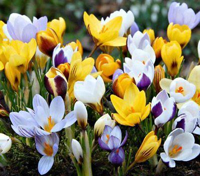 100 x Mixed Species Crocus. Easy to grow. Spring Flowers