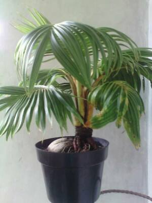 10 Seeds of Schefflera arboricola or Pittmans Pride