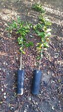 Meyer Lemon Tree - 2.5 ft to 3.5 ft tall - fruiting age - Grafted Citrus - Live