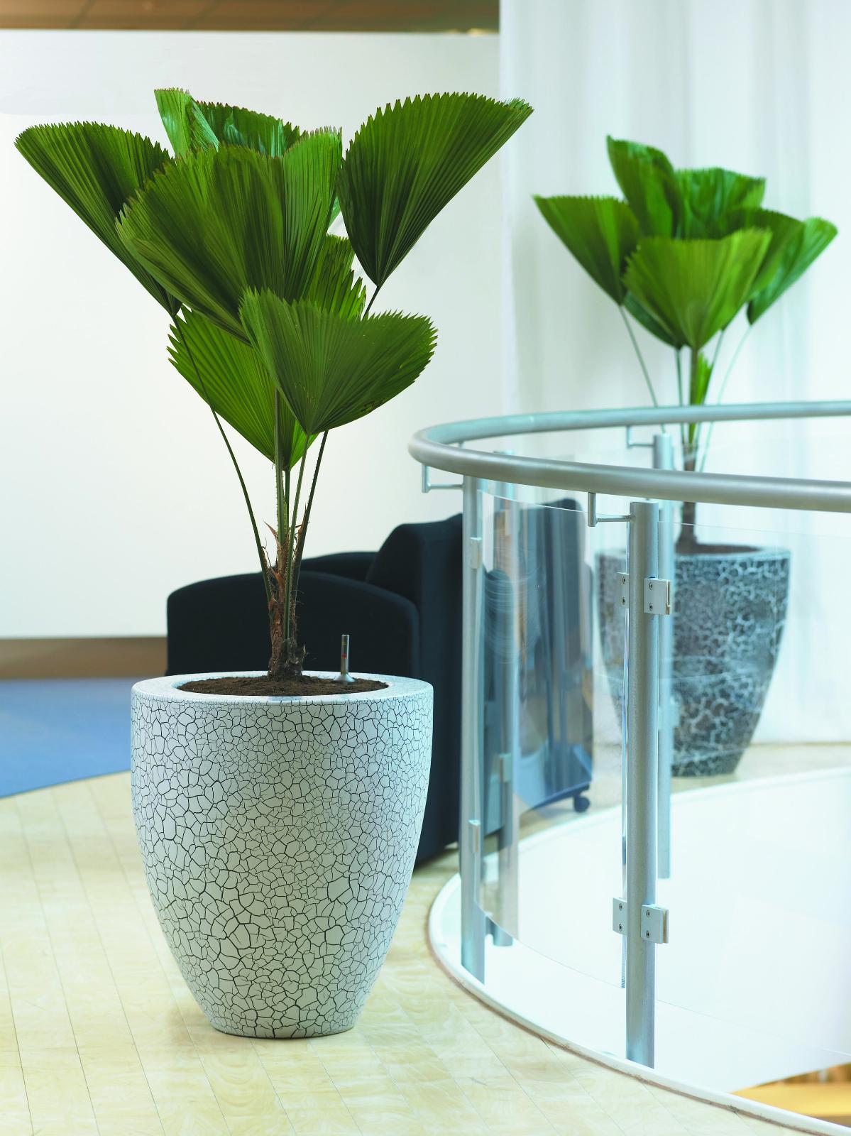 Licuala grandis (Ruffled Fan Palm Tree) 5 Seeds | RARE Indoor House Plant | UK