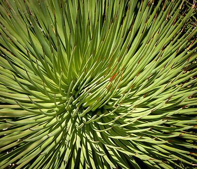 Colore Verde Chiaro, A Punta Fine Di Mandata Foglie Sono Un Tratto Distintivo Delle Straordinarie Nana-agave-
