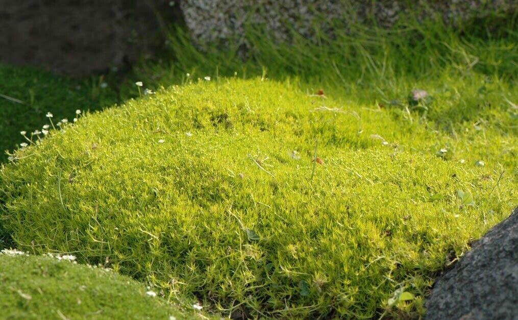 75 x Sagina subulata 'Aurea' (Bodendecker Stauden) Gold Sternmoos  pro St.