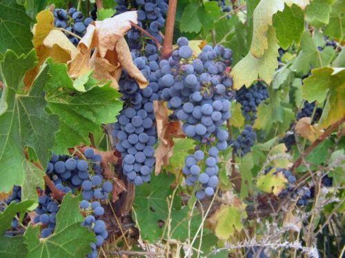 20 Vitis vinifera Cabernet Sauvignon WINE GRAPE Seeds US Seller