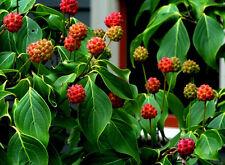 JAPANISCHER BLÜTEN HARTRIEGEL 5 Samen Cornus Kousa v. Chinensis essbare Früchte