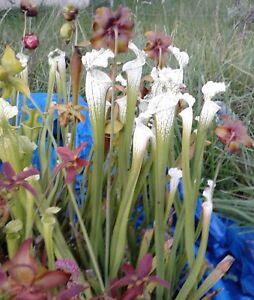 30-Sarracenia-Leucophylla-HURRICANE-CREEK-WHITE-Seed-Carnivorous-pitcher-plant