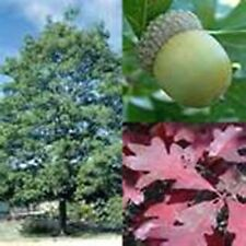 WHITE OAK STARTER SEEDLINGS QTY-32 SHIPPED FREE NO RESERVE, SHIPS FRESH IN SPRI