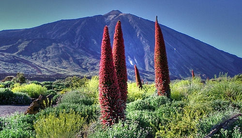 Echium Wildprettii - 50 Seeds - LARGE PACK - Canary Island Tower Of Jewels
