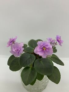 African-Violet-Plant-Morgan-s-Irish-Down-Miniature