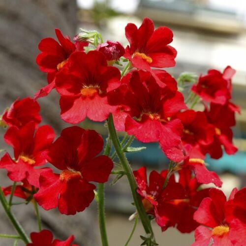 250 seeds NEMESIA Nemesia Strumosa Fire King red #1821