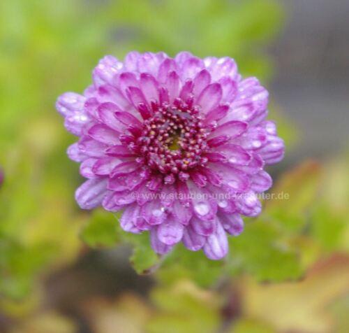 """Chrysanthemum X /""""MEI-KYO/"""" plante dans la 9x9cm-pot Violet-Rose-hiver astre"""